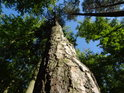 Pohled po koruny štíhlé borovice obklopené sytou zelení bukového listí.